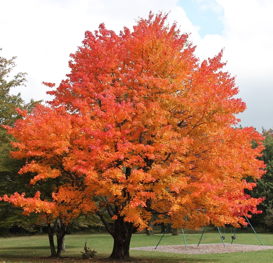 Maple Tree - Fall